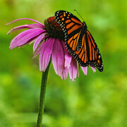 Butterfly on Coneflower  C2