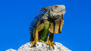 Colourful Iguana
