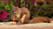 Red Squirrel Enjoying a Peanut